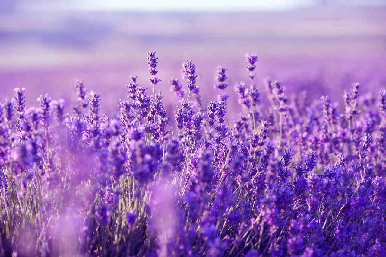 lavender_resized