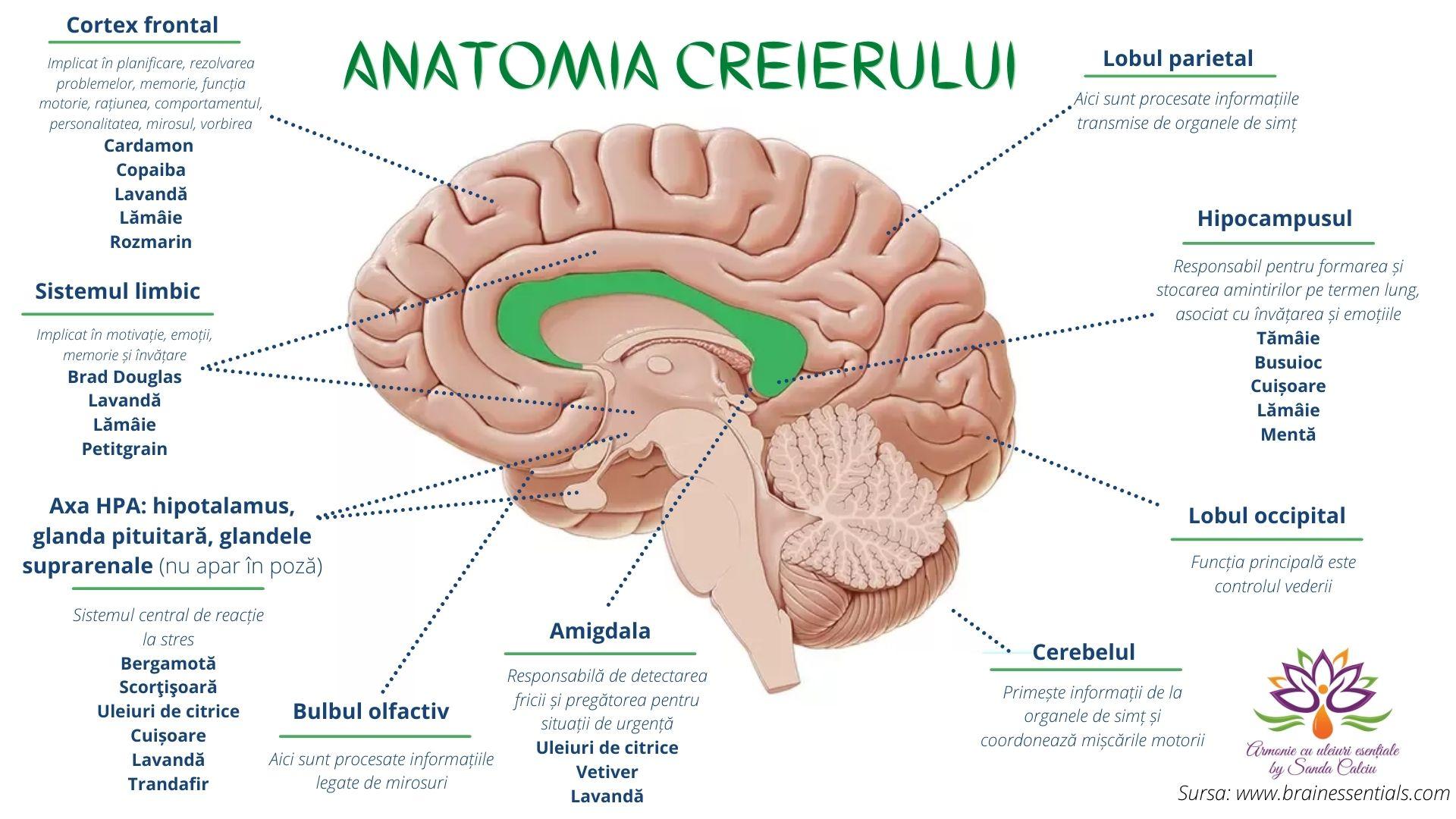 Anatomia creierului si uleiurile esentiale