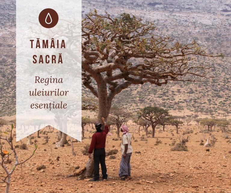 Tamaia sacra_Easy-Resize
